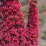Flora en Fauna: tajinaste tenerife, plant, canary islands