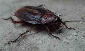 Insecten: kakkerlak