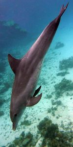 Flora & Fauna: bottlenose dolfijn