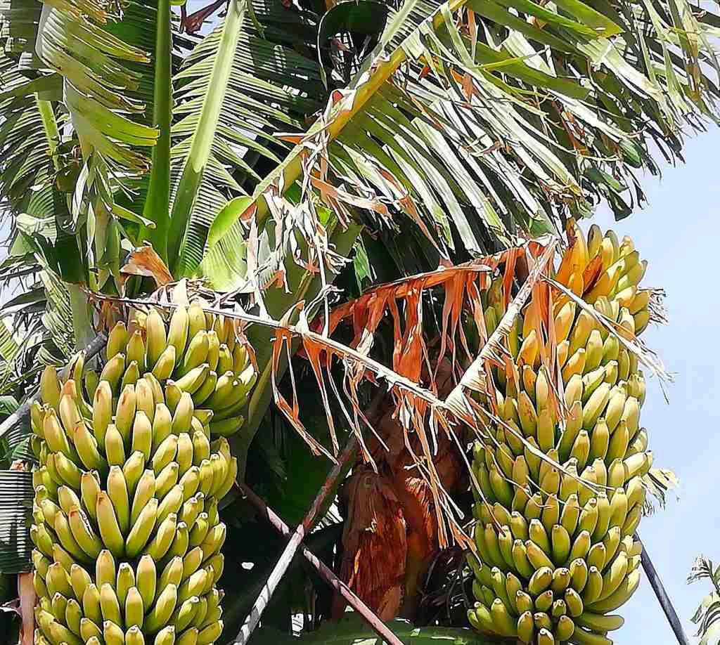 Ode aan de Canarische Banaan: foto van een bananen plantage